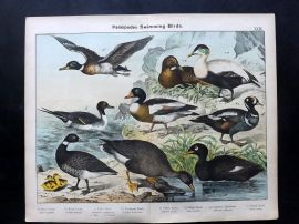 Kirby & Schubert 1889 Antique Bird Print. Goose, Eider, Wild, Harlequin Duck